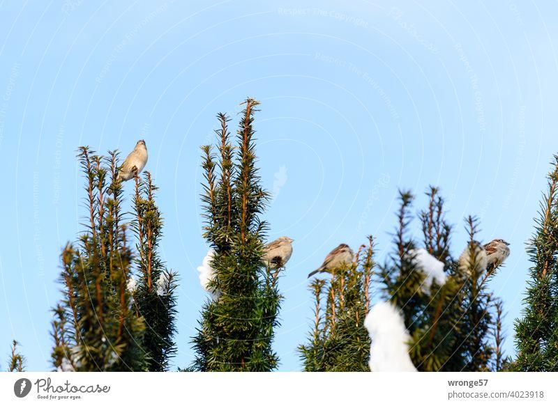 Die Spatzen pfeifen es von den Zweigen - der Frühling startet! Sperling Hecke Astspitzen zwitschern Frühlingsgefühle Frühlingsbeginn Schneereste Natur Farbfoto