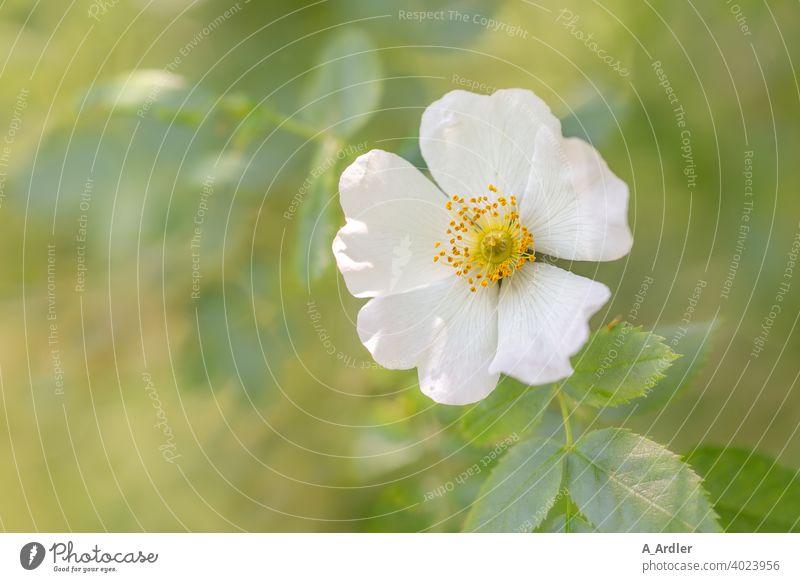 Weiße Blüte einer Hagebutte - Wildrose  (Rosa rugosa) oder auch Hundsrose genannt Blumen Macro Makro Makroaufnahmen Pflanzen Blütenblätter grün bokeh soft