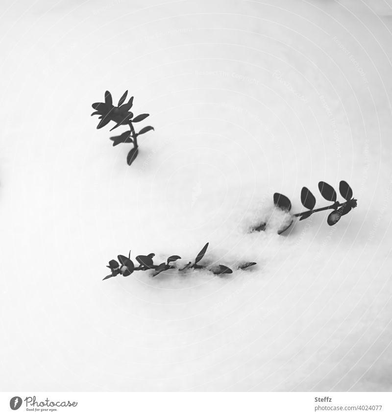 der Buchsbaum ist im Schnee versunken schneebedeckt Schneedecke Buxus Buchsbaumhecke Schneekappe Immergrün Immergrüne Pflanzen Februar Wintereinbruch