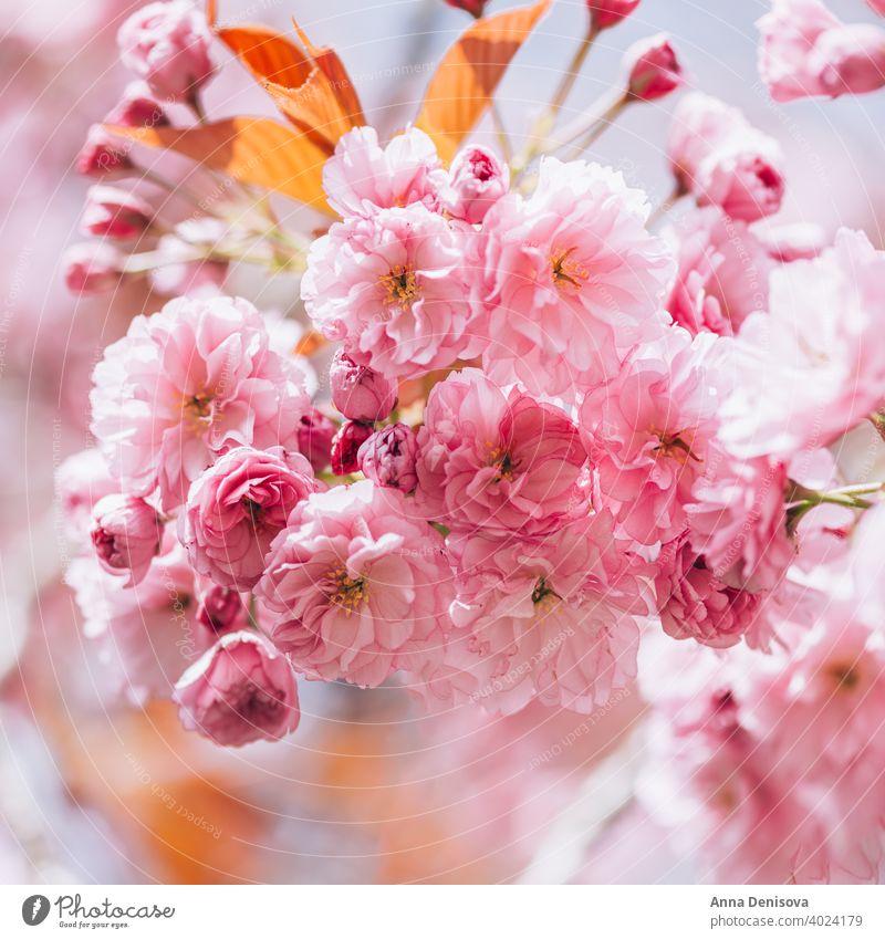 Sakura Blumen in Blüte Baum Kirschblüten Himmel Kirsche blau rosa Frühling Japan Natur Park Blütezeit Saison weiß natürlich Pflanze Garten Blütenblatt