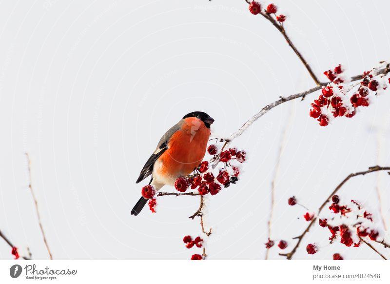 Gimpel. Vogel auf dem Baum. Sibirien, Russland. Tier Beeren blau Ast schließen Farbe allgemein niedlich eurasisch Garten Bergasche Natur eine orange im Freien