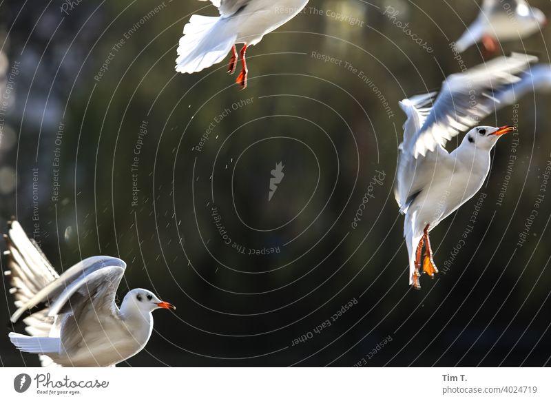 Möwen im Abflug am Spree Ufer Vogel bird Berlin Flügel fliegen Tier Außenaufnahme Mitte Friedrichshain River Menschenleer Feder Farbfoto Luftverkehr Lachmöwe
