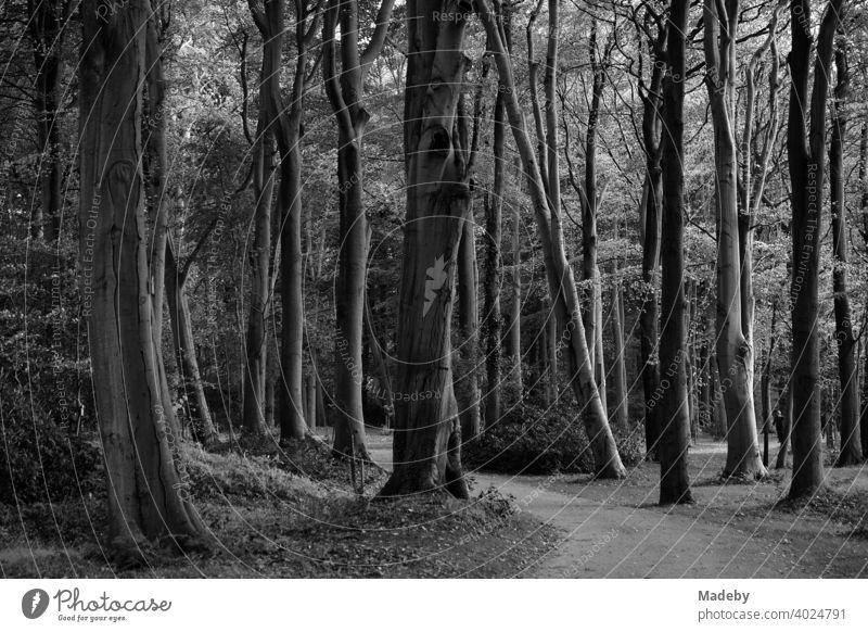 Uralte Bäume bilden einen dunklen Wald im Schlosspark Lütetsburg bei Norden in Ostfriesland, fotografiert in neorealistischem Schwarzweiß Schwarzweißfoto