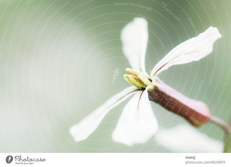 Die zarte Blüte der Senfrauke essbar Salatpflanze Rucola Lebensmittel Vegetarische Ernährung Frühling Diät Gesunde Ernährung frisch Bioprodukte Salatbeilage