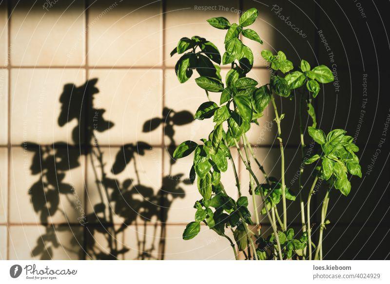 Frische Basilikum-Pflanze in Vintage-Küche mit Fliesen sonnenbeschienen mit Schatten retro altehrwürdig Lebensmittel Bestandteil Kacheln Haus Essen zubereiten