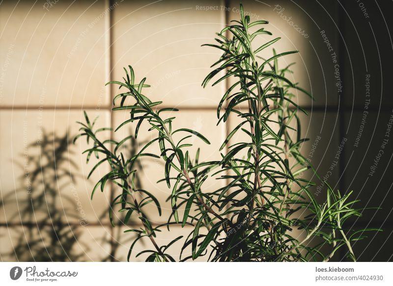 Frische Rosmarinpflanze in Vintage-Küche mit Fliesen sonnenbeschienen mit Schatten retro altehrwürdig Lebensmittel Bestandteil Kacheln Haus Essen zubereiten