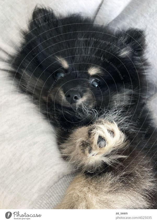Hundewelpe Pomeranian Welpe Pfote Fell Spitz schwarz grau beige Zwergspitz Blick in die Kamera direkter Blick Tier Haustier 1 Farbfoto Tierporträt Tiergesicht