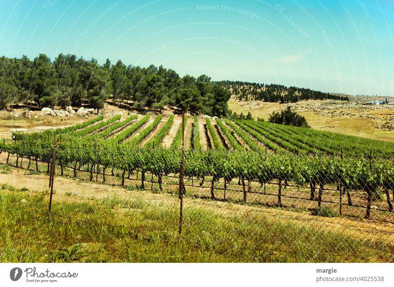 Ein Weinberg mit Berge und Wald Außenaufnahme Weintrauben Menschenleer Nutzpflanze grün Tag Pflanze Natur Sommer Feld Weinlese Schönes Wetter Sonnenlicht