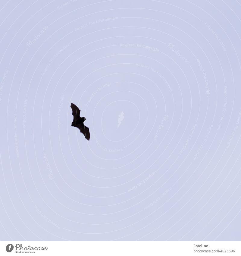 Batman jagt die Bösewichte Fledermaus Tier Farbfoto 1 Außenaufnahme Menschenleer Tag Natur Wildtier Umwelt natürlich frei klein Freiheit Säugetier Fledertiere