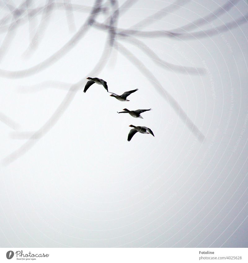 Alles was fliegt III - Gänse fliegen in Reihe Natur Himmel Vogel Außenaufnahme Wildtier Farbfoto Tier Menschenleer Zugvogel Herbst Schwarm Tiergruppe Freiheit