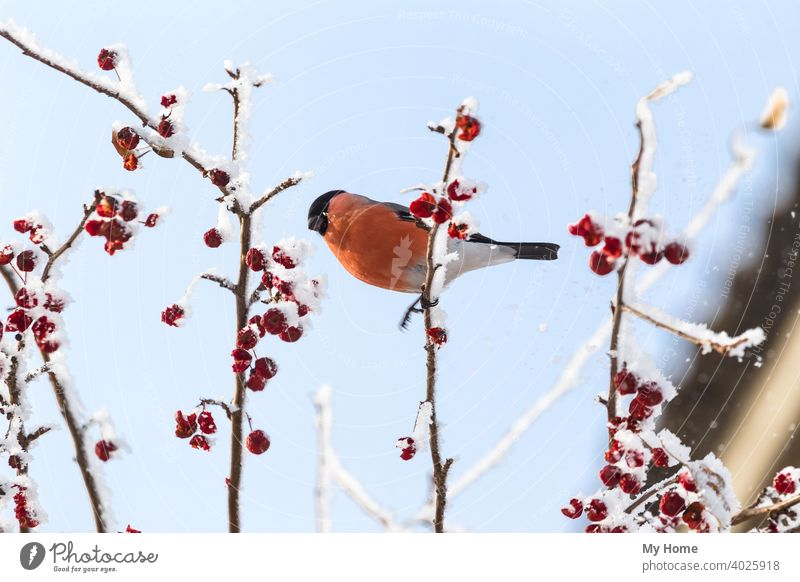 Rotgimpel auf dem Ast. Sibirien, Russland. Tier Herbst Beeren Vogel blau Gimpel schließen Farbe allgemein niedlich eurasisch Garten Bergasche Natur eine orange