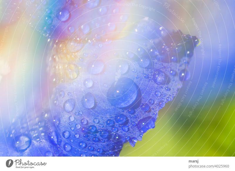 Erfrischende Wassertropfen auf Enzian-Blütenblatt mit schleierhaftem, regenbogenfarbenem Bereich erfrischend belebend blau enzianblau Pflanze Wildpflanze