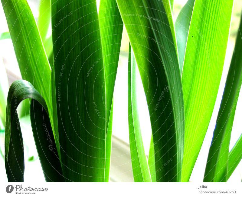 Tulpen Blätter Natur Pflanze Blatt Grünpflanze grün Farbfoto Innenaufnahme Menschenleer