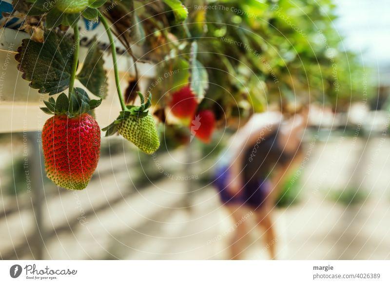 Erdbeeranbau in Pflanzrinnen, die Früchte wachsen buchstäblich in den Mund! Erdbeeren Nahaufnahme Ernährung Frucht Vegetarische Ernährung Farbfoto