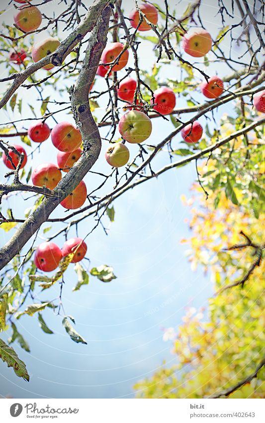 Äpfel Lebensmittel Frucht Apfel Ernährung Bioprodukte Vegetarische Ernährung Umwelt Pflanze Luft Wolkenloser Himmel Sommer Herbst Klima Schönes Wetter Baum