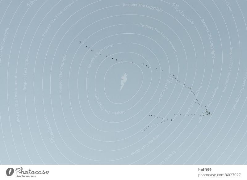 Gänse oder Kraniche auf der Durchreise Zugvögel Vogelzug Zugvogel Freiheit frei Vögel Wildtier Vogelschwarm Himmel fliegen Schwarm Natur Tiergruppe Vogelflug
