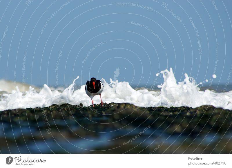 LAAAAAAUUUUUUUUF!!!! Umwelt Natur Tier Urelemente Erde Wasser Wellen Küste Nordsee Meer Vogel hell nass natürlich Austernfischer Felsen steinig Farbfoto