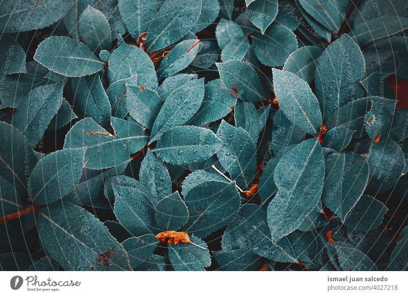 Regentropfen auf den grünen Pflanzenblättern an regnerischen Tagen im Frühling Blatt Blätter Tropfen Wasser nass glänzend hell Garten geblümt Natur natürlich