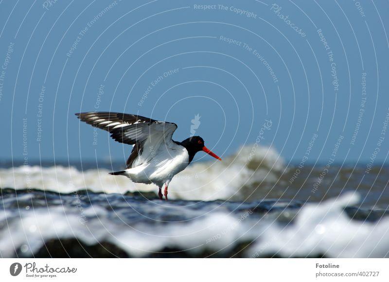 Fußbad Umwelt Natur Tier Urelemente Wasser Himmel Wolkenloser Himmel Sommer Schönes Wetter Wellen Küste Strand Nordsee Meer Wildtier Vogel Flügel hell nah nass
