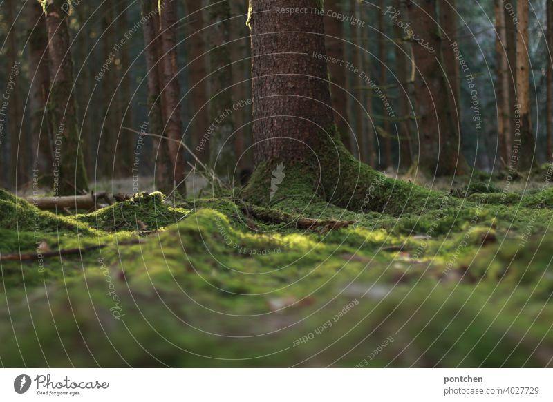 bemooster waldboden im sonnenlicht. wald, bäume natur umwelt wurzeln holz holzwirtschaft co2 ruhe unberührtheit erholung märchenhaft meditation friedlich