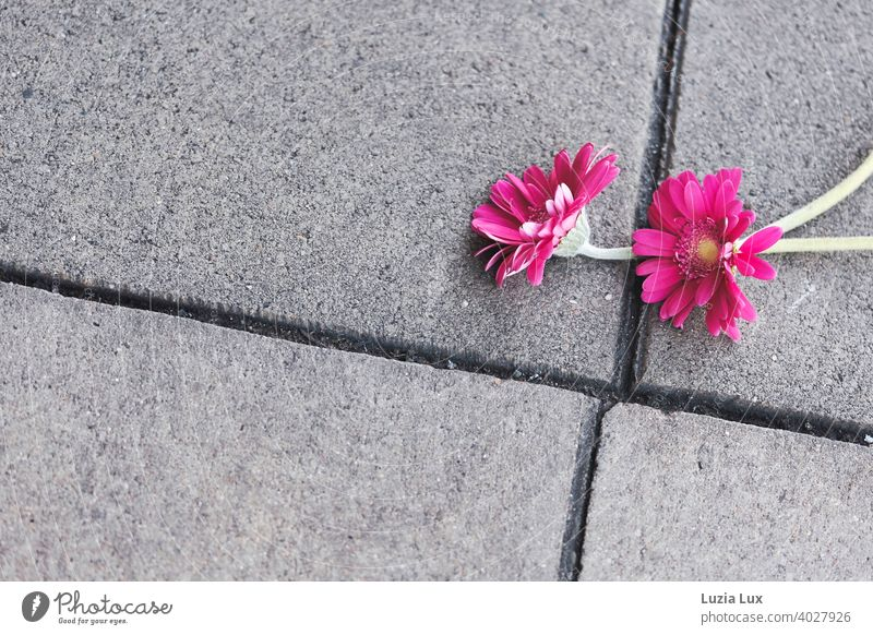 zwei verlorene Gerbera Blüten leuchten pink auf grauen Asphaltplatten Bürgersteig Straße urban Stadt vergessen Blume Blumen Gerberablüte hübsch Frühling