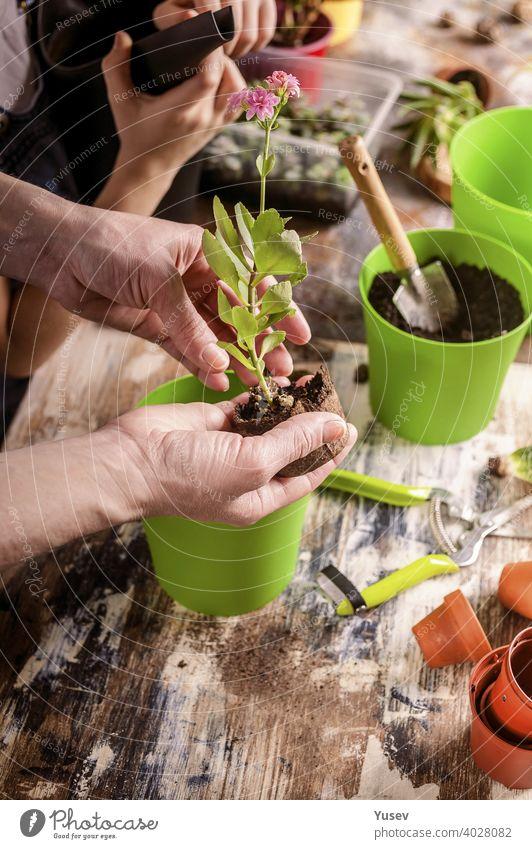 schöne Hände einer kaukasischen Frau halten einen Sämling einer rosa Blume. Mutter und Tochter sind Gartenarbeit zu Hause. Familienaktivität. Nahaufnahme. Hand