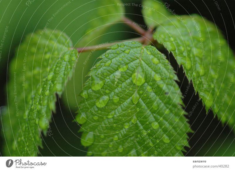 Blätter_mit_Regentropfen Blatt Wassertropfen Pflanze Regentropgen Natur Detailaufnahme