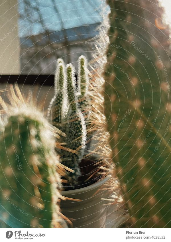 Kakteen auf dem Fensterbrett vor einer Scheibe in der Wohnung bei Sonne Fensterscheibe Licht Fensterblick Innenaufnahme Zimmerpflanze Kaktus Kakteenstacheln