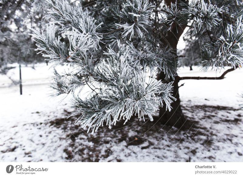 Raureif Nadelbaum Nadelbaumzweig Baum Natur Zweig Ast kalt weiß Eiskristall Außenaufnahme gefroren Pflanze Schnee Frost Winter Winterstimmung Wintertag