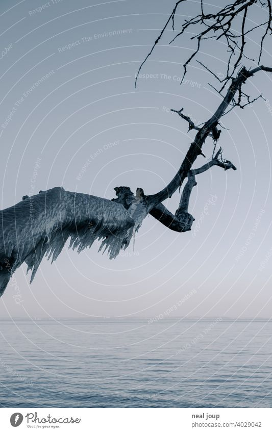 Dicker Ast voller Eiszapfen ragt über die stille winterliche Ostsee in der Dämmerung Außenaufnahme Natur Landschaft Küste Meer Winter Kontrast Baum filligran