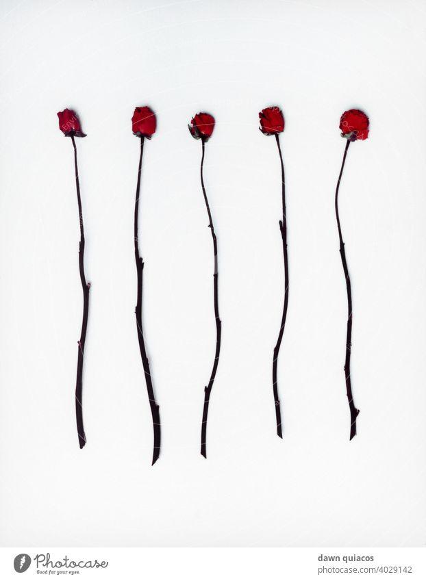 Fünf rote langstielige, dornenlose Rosen, die von Blättern befreit sind fünf Rosen Farbe Blumen geblümt Valentinsgruß romantisch Hochzeit rote Rosen