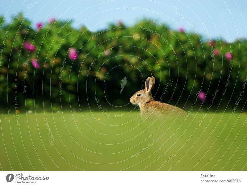 Hoppel Umwelt Natur Pflanze Tier Sommer Schönes Wetter Gras Garten Park Wiese Wildtier Fell 1 frei klein nah natürlich weich Hase & Kaninchen Osterhase Farbfoto