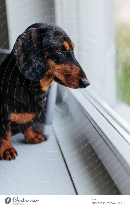 carlson Dackel Hund Tier Tierporträt Tierliebe Haustier niedlich Wohnung Fenster zuhause Tiergesicht Schwache Tiefenschärfe Neugier Häusliches Leben Pfote