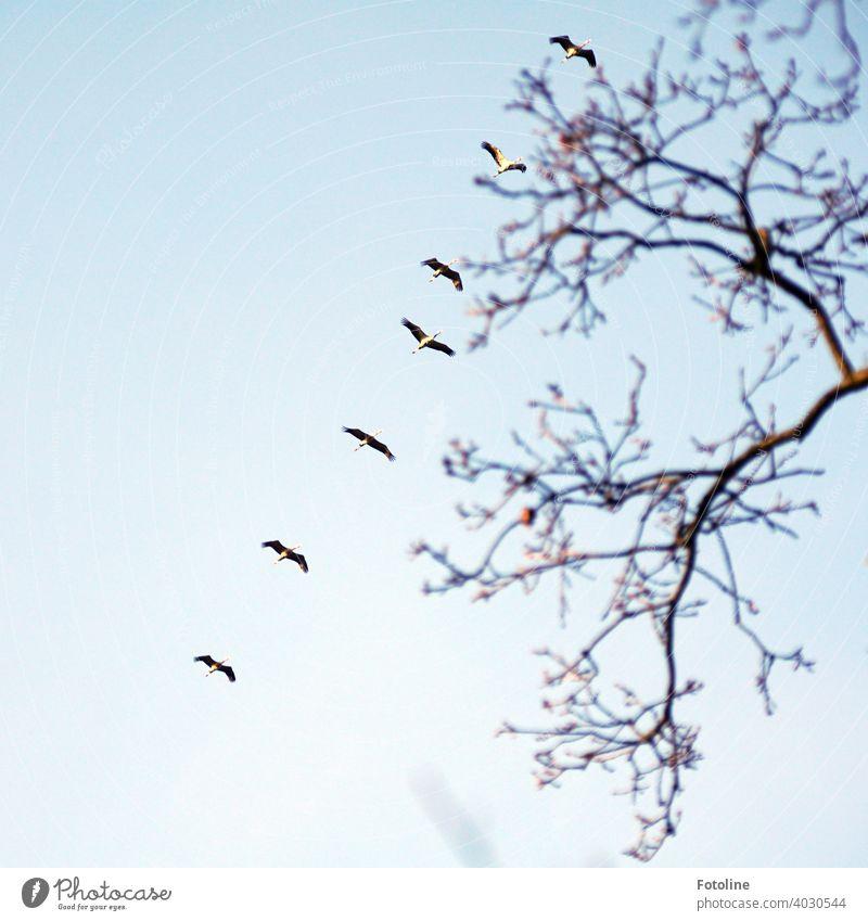 Alles was fliegt I - Kraniche fliegen in Reihe Kraniche am Himmel Kranichflug Kranichvögel Natur Vogel Außenaufnahme Wildtier Farbfoto Tier Menschenleer