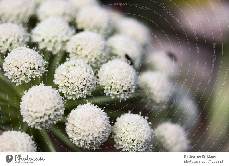 Weiß Ammi Blumen Makro ammi geblümt dolden Natur natürlich weiß horizontal Garten Sommer Frühling Saison saisonbedingt Licht Gelassenheit hintergrundbeleuchtet