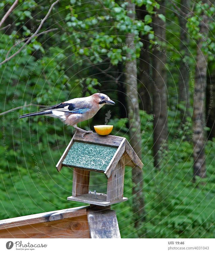 Hungriger Eichelhäher wartet geduldig auf sein Mittagessen. Vogelfutter Futterhaus Waldrand Auge in Auge Hunger Geduld lächelnd Garten Garrulus glandarius