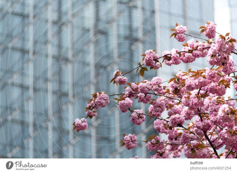 Kirschblüte vor Glasfassade - Frühling in der Stadt Kirschblüten Kirschbaum rosa Blühend Kirsche Blüte Architekturfotografie tranzparent Europa Parlament Blüten