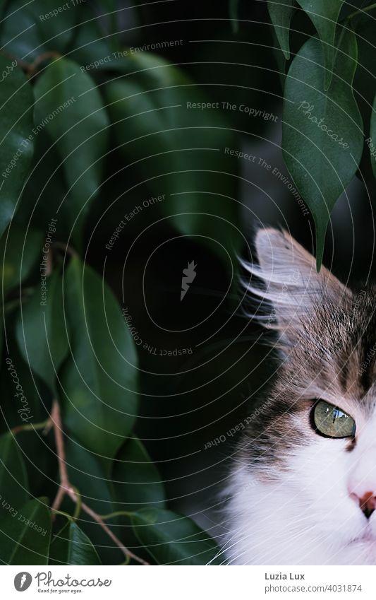 Katze mit Luchsohr und sehr grünem Auge angeschnitten, dahinter dunkelgrünes Laub Kater langhaarig Langhaarige Katze Haustier Tier Fell Hauskatze Blick