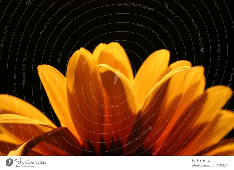 The Gerbera Blume Pflanze gelb Blüte Garten