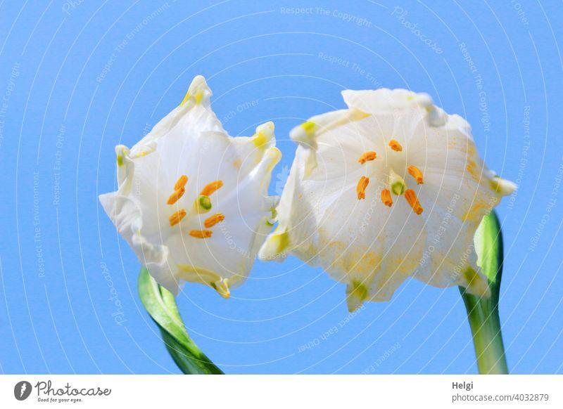 Frühling einläuten - blühende Märzenbecher aus der Froschperspektive vor blauem Himmel Blume Blüte Frühblüher Frühlingsblüten Nahaufnahme Macro Blütenblätter