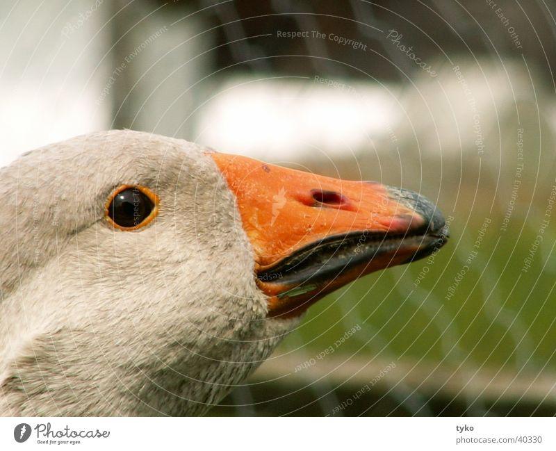 ganz Gans die Agathe Vogel Federvieh Graugans Wächter Schnabel Profil Kampfgans