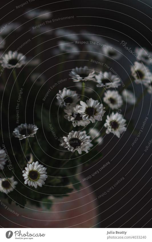Dunkle und stimmungsvolle Fotografie von weißen Knopf mum Blumen Mama Knopfmutter Ordnung Blumenstrauß dunkel Stimmung Schatten Detailaufnahme