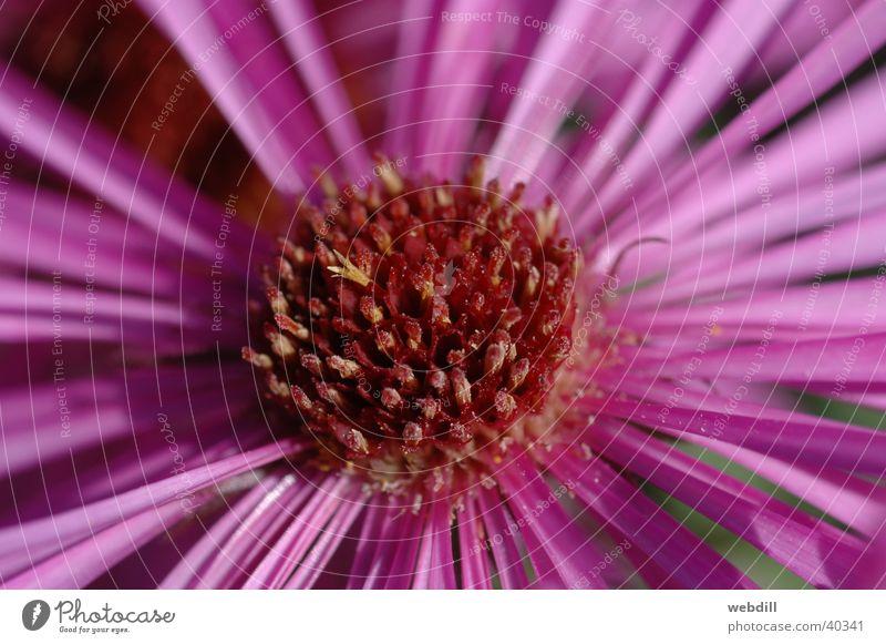 Aster Blume Herbst rosa violett Astern