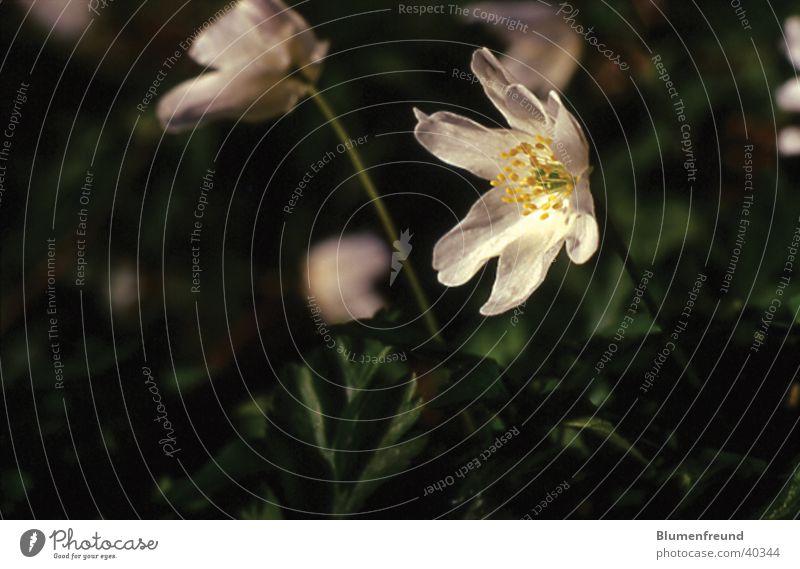 Buschwindröschen Blume weiß Frühling März April Eichenwald Makroaufnahme hintergrund verschwommen