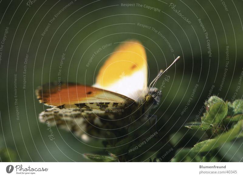 Aurorafalter Schmetterling Frühling Mai April Sonnenbad maskulin orange Makroaufnahme