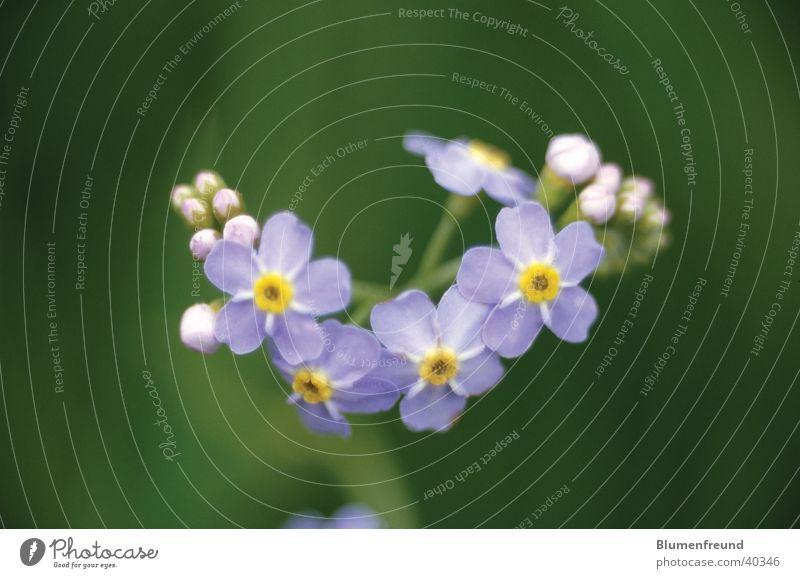 Sumpf-Vergissmeinnicht Blume blau Blüte Frühling Elbe Mai Sumpf