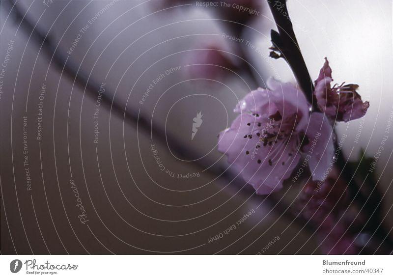 Mandelblüte Frühling Blüte Frucht rosa Mai April verwaschen Ungar