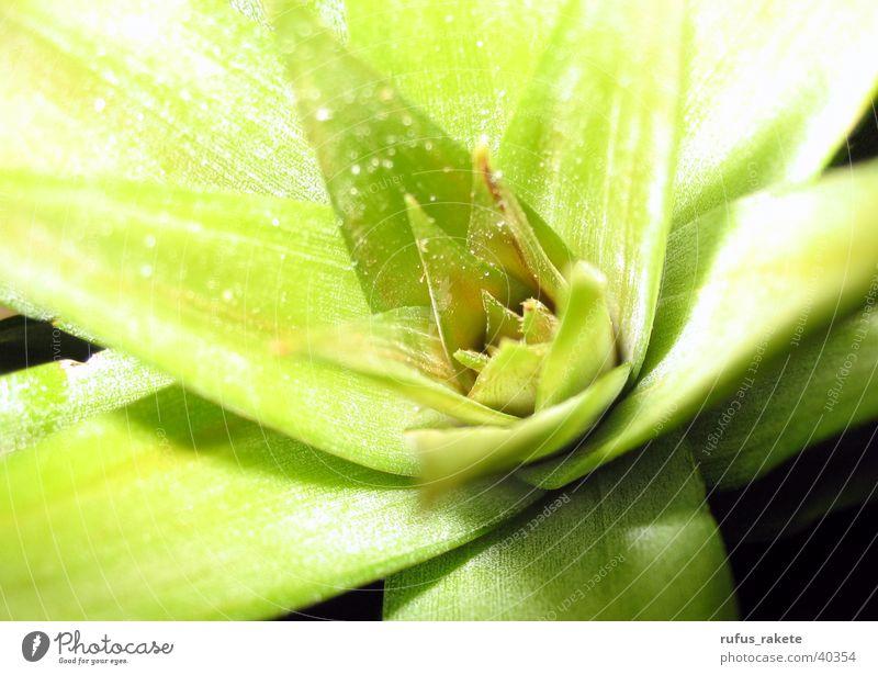 Ananasgrün grün Blatt Blüte Tiefenschärfe Feinstaub Ananas