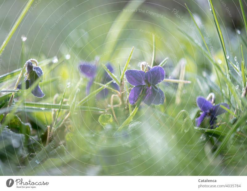 Die Veilchen sind früh am Morgen noch mit einem frostigen Hauch überzogen Natur Flora Pflanze Blume Veilchengewächse Gras Blüten blühen Frost Eis Kälte Garten