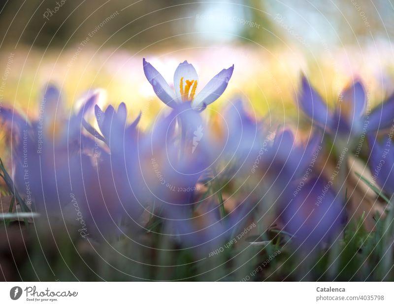 Krokusse an einem sonnigen Frühlingstag Natur wachsen Grün Violett Lila Tageslicht Garten blühen Blüten Gras Blume Pflanze Flora Blütenblatt Himmel Orange